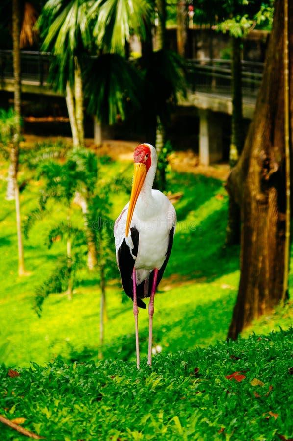 Gelb-berechnet der Storch, der auf grünes Gras geht stockfotografie