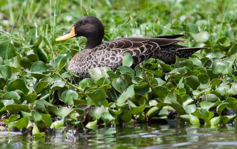 Gelb-berechnete Ente, die im Sumpf sitzt stockbild
