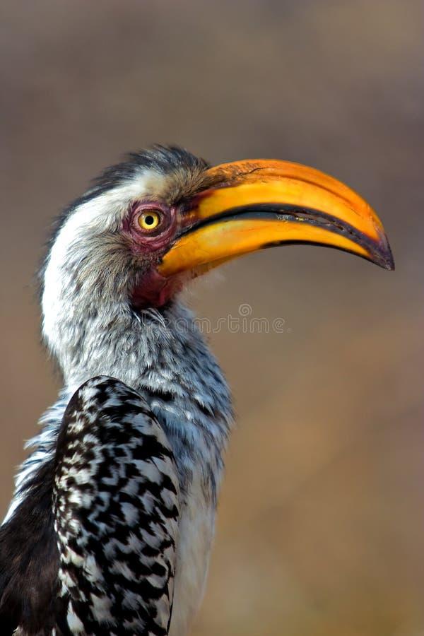 Gelb berechneter Hornbill stockfoto