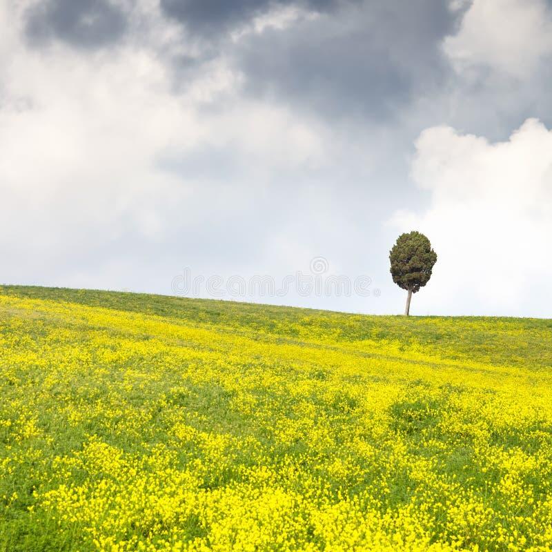 Gelb blüht grünes Feld, einsamen Zypressenbaum und bewölkten Himmel stockfoto