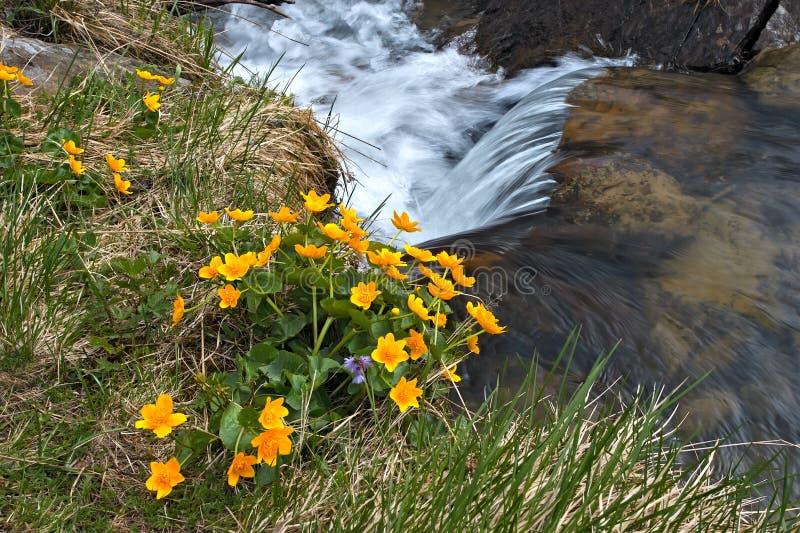 Gelb blüht nahe dem Strömen des Wassers stockbilder