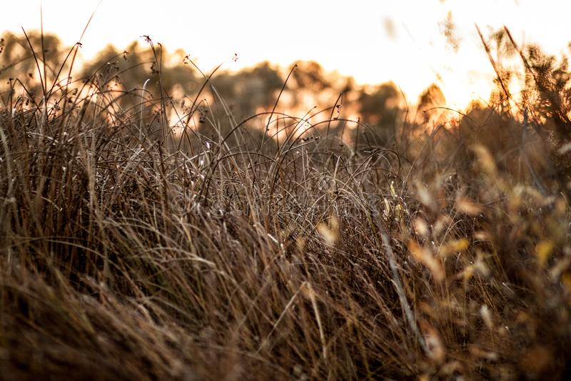 Gelb-braune Herbstgrasnahaufnahme bei Sonnenuntergang nahe dem Wald stockfotos