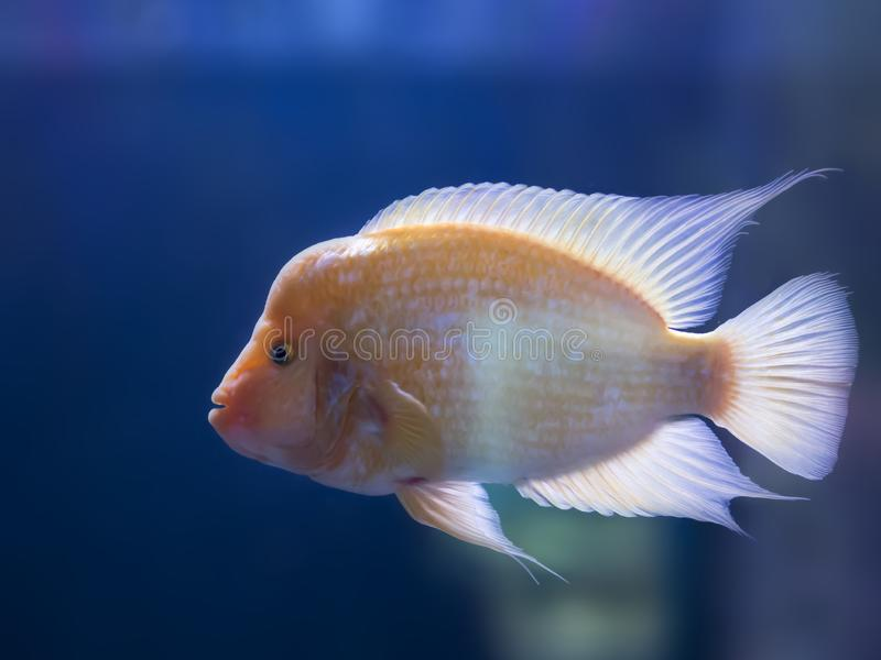 Gelb farbige tropische Goldfischstellung im Aquarium lizenzfreie stockfotos