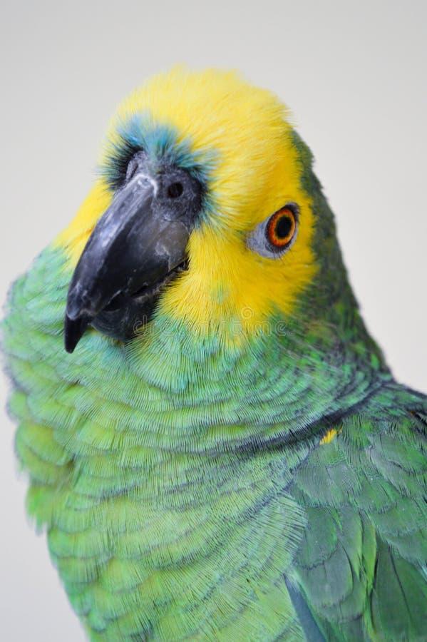 Gelb-gekrönter Amazonas-Papagei lizenzfreies stockfoto