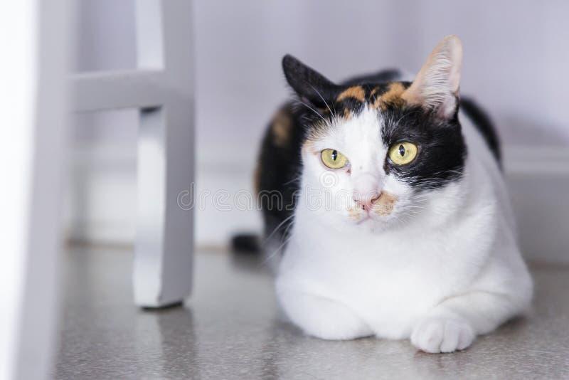 Gelb gemusterte Katze Katze, die auf Fußboden liegt Katzenblick auf Kamera mit weißem Farbhintergrund Katze thailändisch stockbild