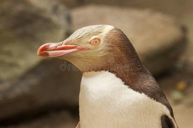 Gelb gemusterter Pinguin, Neuseeland stockbild