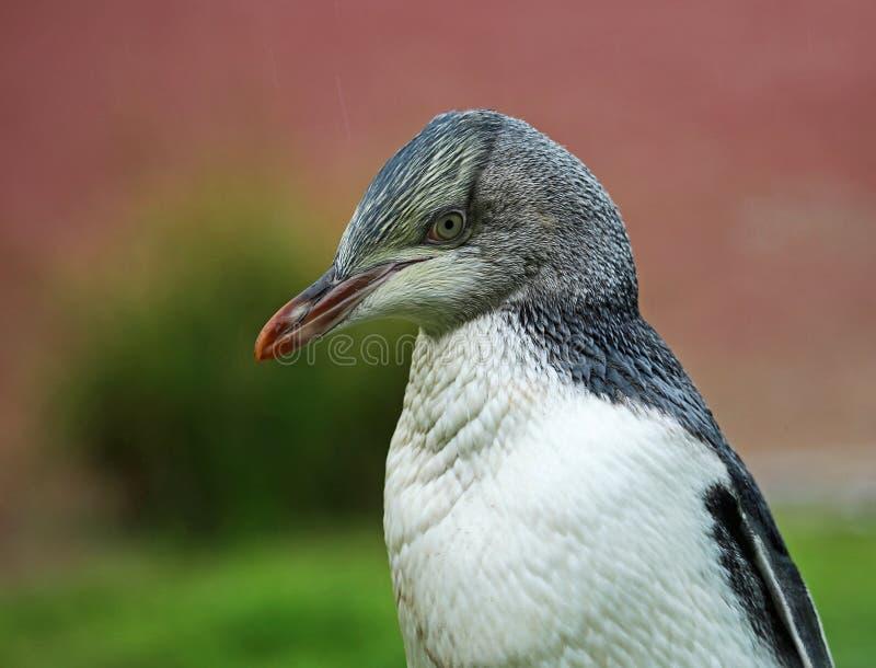 Gelb gemustertes Pinguinküken stockfotos