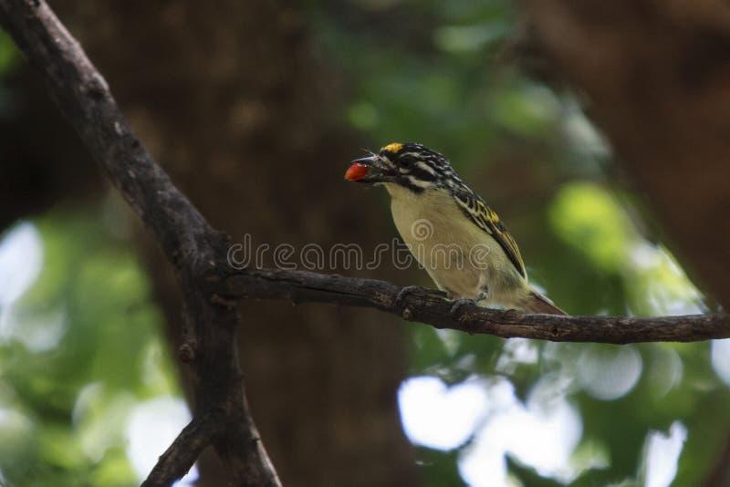 Gelb-konfrontiertes Tinkerbird lizenzfreie stockfotografie