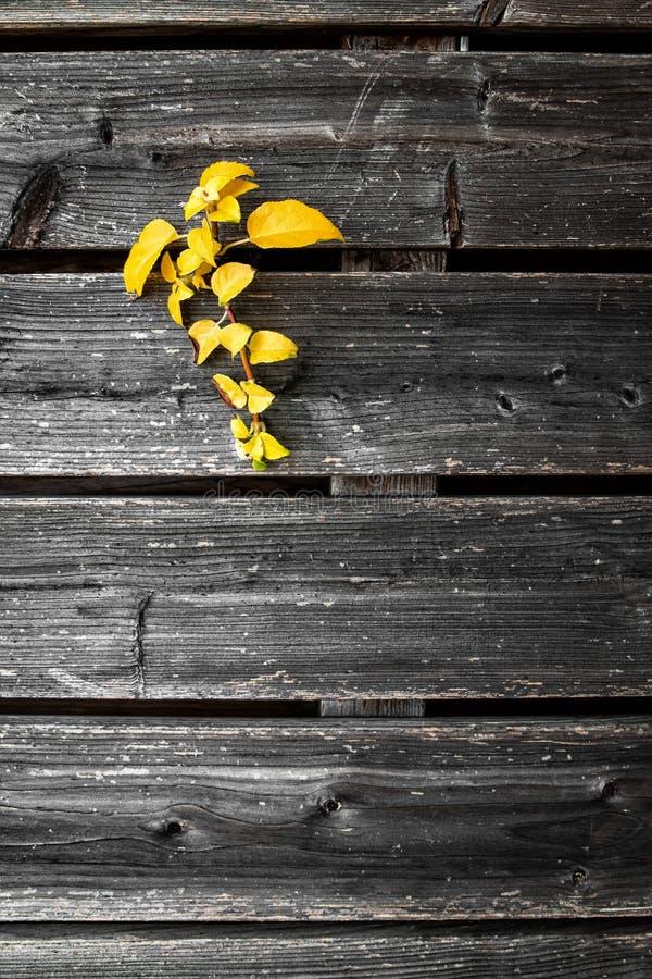 Gelb lässt das Wachsen durch alten Bretterzaun lizenzfreies stockfoto