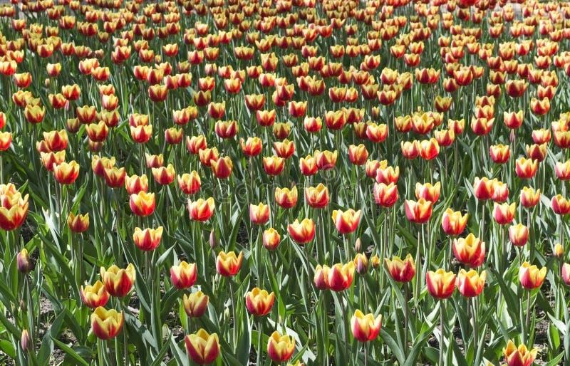 Download Gelb mit roten Tulpen stockfoto. Bild von frisch, dekoration - 26359804