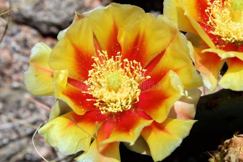 Gelb mit roter Kaktusfeige-Blume lizenzfreie stockbilder