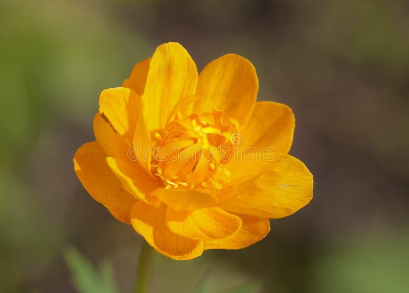 Download Gelb-orangee Blume stockbild. Bild von hell, frühling - 26362861