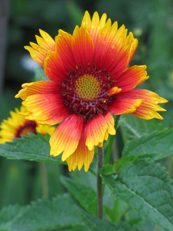 Gelb-orangee Blume nach dem Regen stockfotos