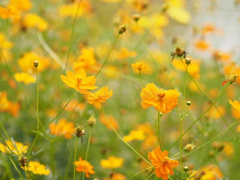 Gelb-orangee Blumen-mexikanische Aster Klondyke-Art helles helles Sulphureus schön in der Natur lizenzfreies stockbild