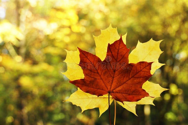 Gelb-orangeer Ahornurlaub im Herbstnatur-Waldsaisonhintergrund stockfotos