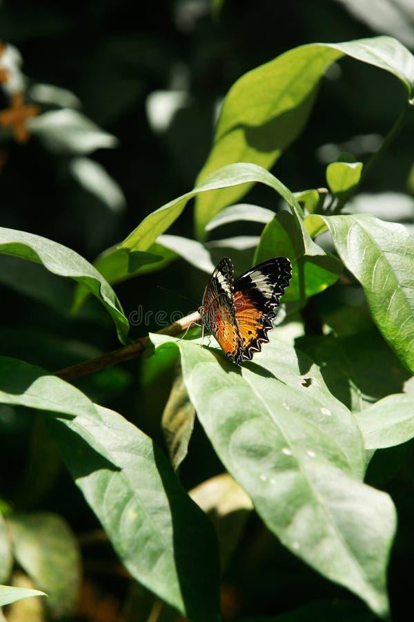 Gelb-orangeer bunter Schmetterling, der auf trocknenden Flügeln eines Grünblattes stillsteht stockbild