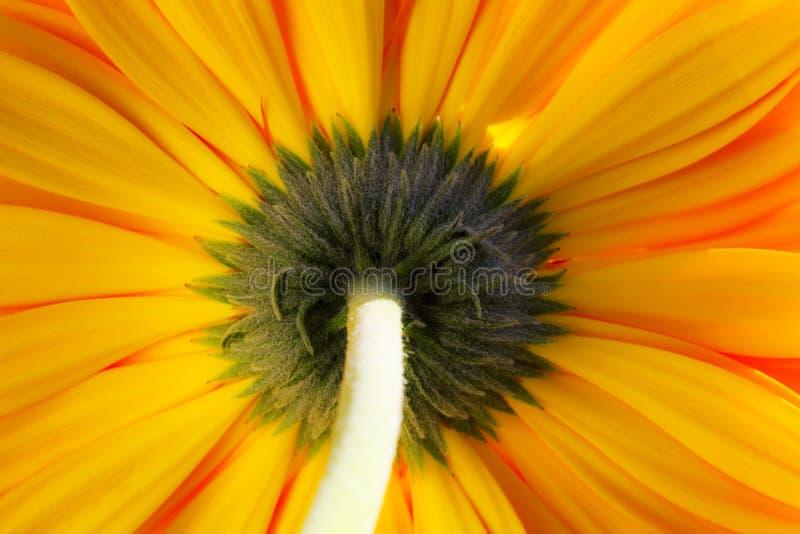 Gelb-orangees gerber lizenzfreies stockfoto