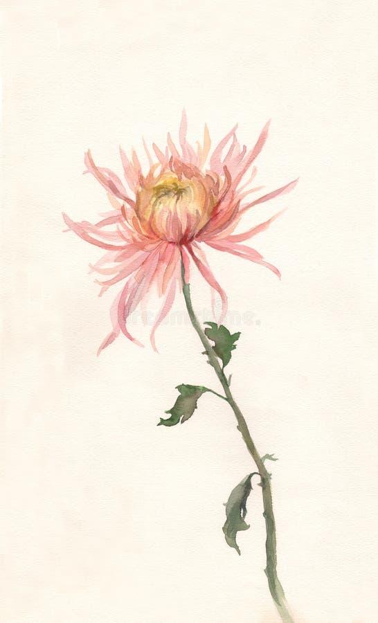 Gelb-rosafarbener Chrysantheme-Aquarellanstrich. stock abbildung