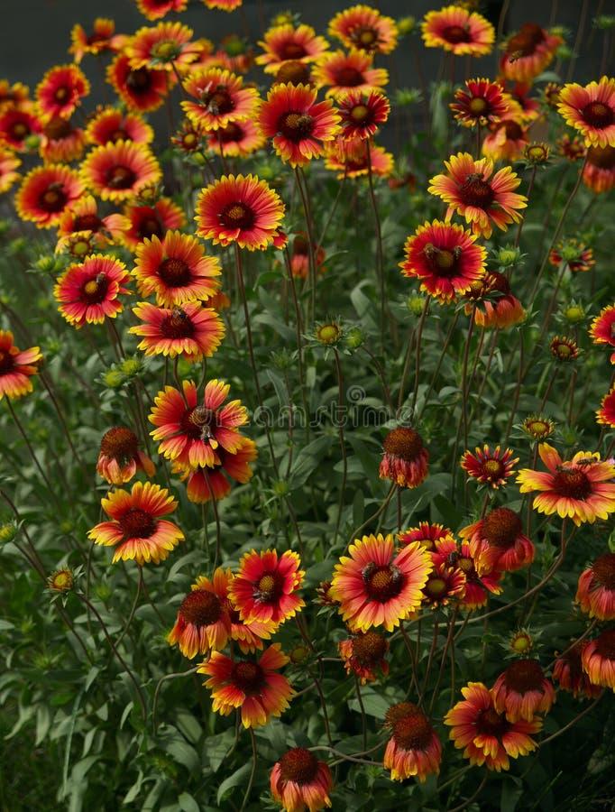 Gelb-rote Blumen lizenzfreie stockfotografie