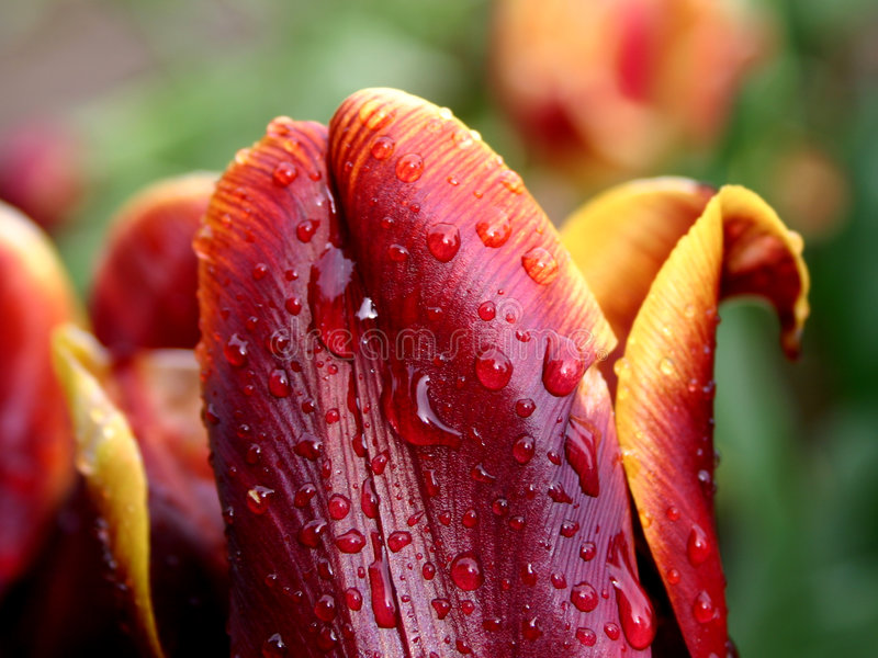 Gelb-rote Tulpe im Regen stockfotos