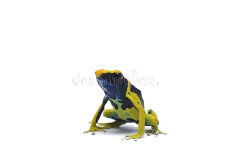 Gelb-schwarzer Pfeilfrosch lokalisiert auf weißem Hintergrund lizenzfreie stockbilder