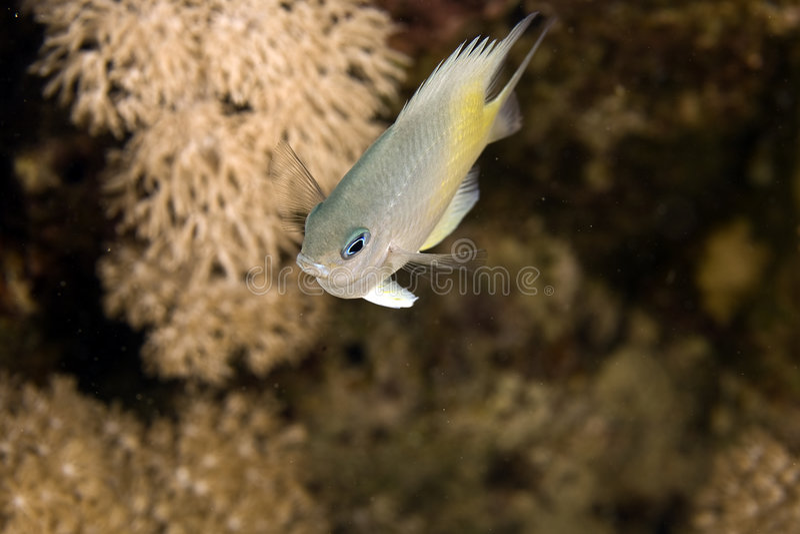 Gelb-Seite Damselfish (amblyglyphidodon Flav.) stockbild