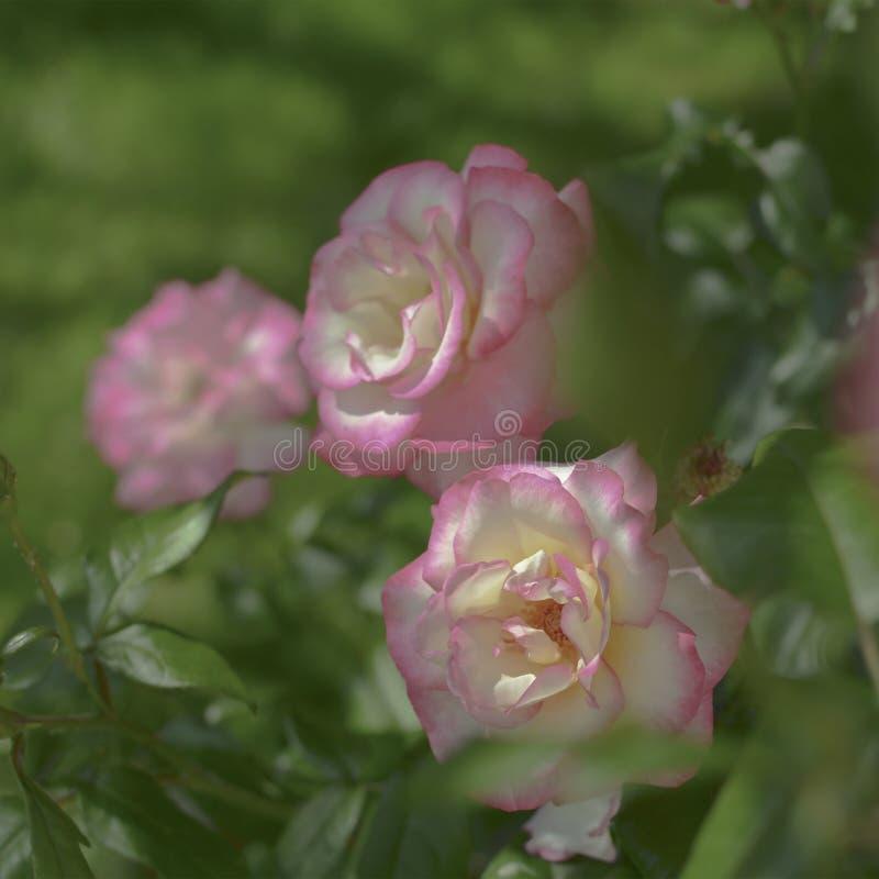 Gelb stieg in Garten im Freien Metapher f?r Sanftheit, Kultiviertheit, Eleganz stockbild