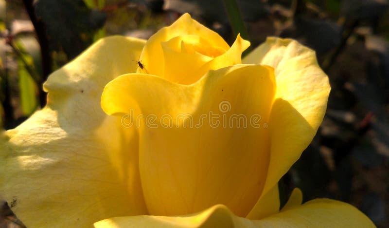Gelb stieg mit schönem Hintergrund der weißen Schatten lizenzfreie stockfotografie