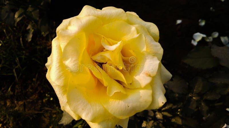 Gelb stieg mit schönem Hintergrund der weißen Schatten stockbilder