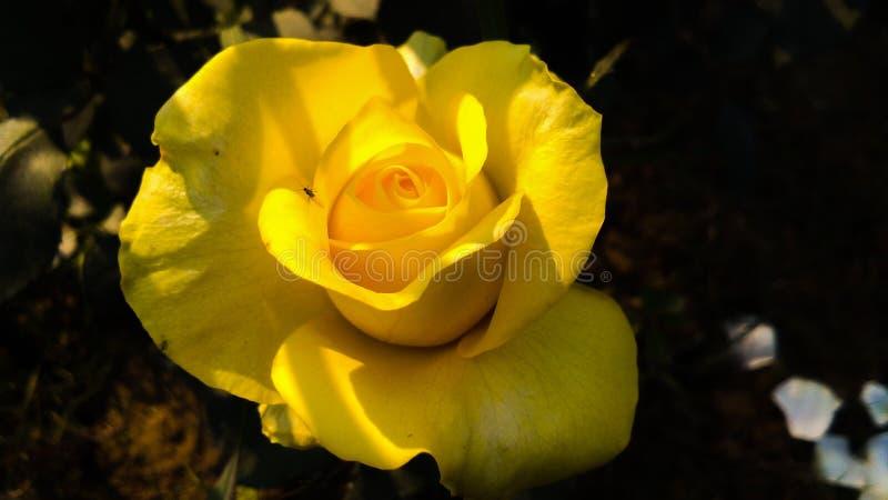 Gelb stieg mit schönem Hintergrund der weißen Schatten stockfotografie