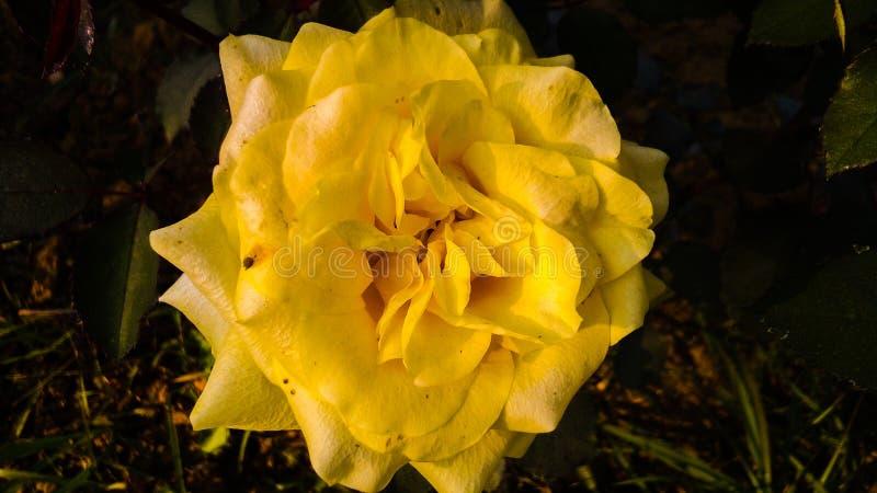 Gelb stieg mit schönem Hintergrund der weißen Schatten lizenzfreie stockfotos