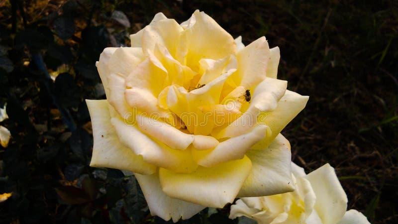 Gelb stieg mit schönem Hintergrund der weißen Schatten stockfotos