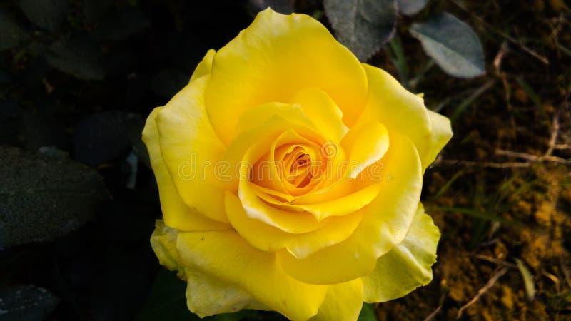 Gelb stieg mit schönem Hintergrund der weißen Schatten lizenzfreies stockfoto