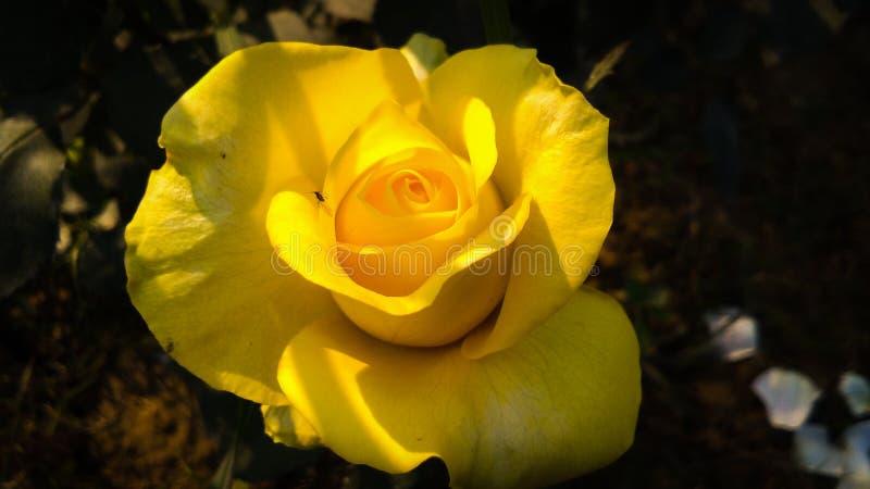 Gelb stieg mit schönem Hintergrund der weißen Schatten lizenzfreies stockbild