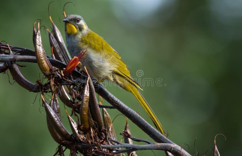 Gelb-throated Honeyeater in Tasmanien stockbilder