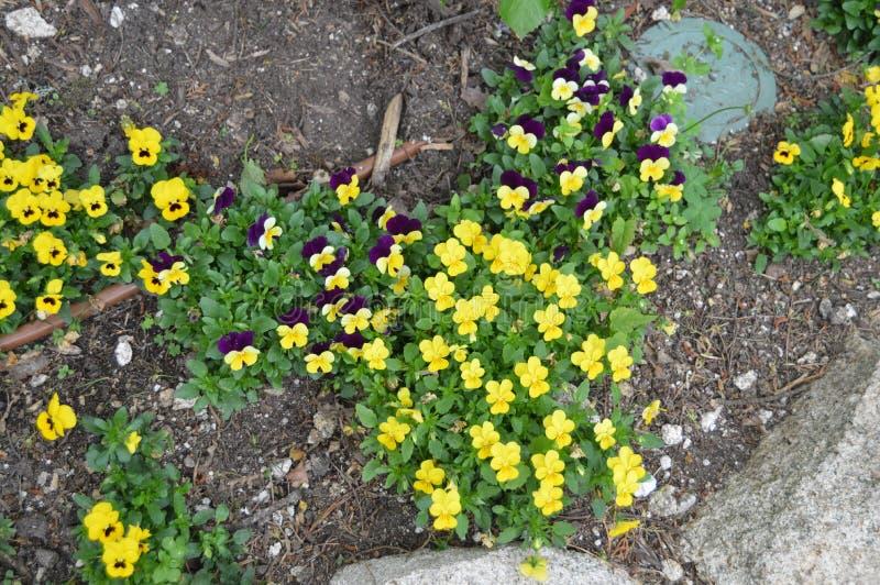 Gelb und Malven-kleine Blumen nahe bei dem Palacio Quinta De La Reagaleira In Sintra Natur, Architektur, Geschichte, Stra?e stockfoto