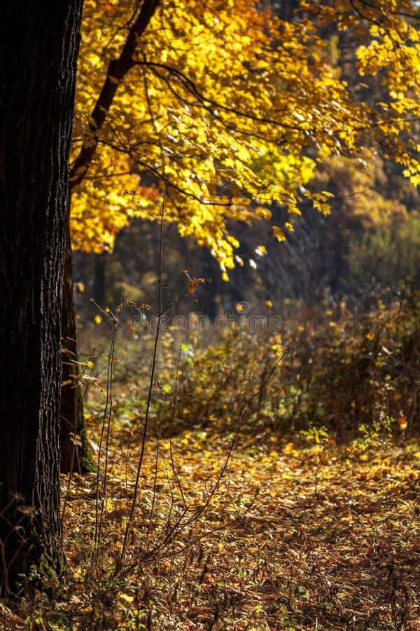 Gelb verlässt angesichts der Sonne an einem sonnigen Herbsttag im Wald in der Stadt Sonnenlicht durch die Bäume im Wald lizenzfreies stockbild