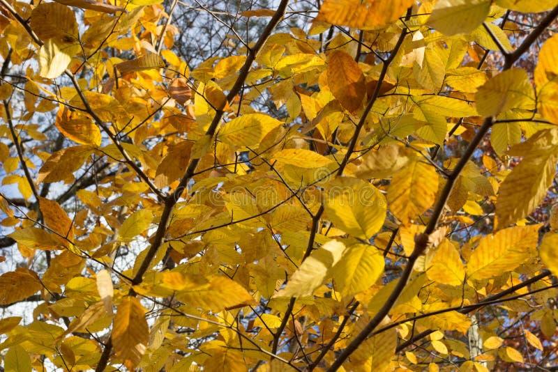 Gelb verlässt auf einem Baumast während eines Fallsonnenuntergangs lizenzfreie stockfotografie