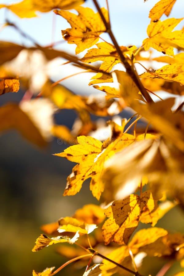 Gelb verlässt von einem Ahornbaum in der Herbstsaison lizenzfreie stockfotografie