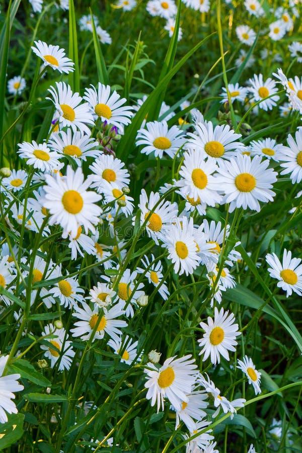 Gelb-weiße Kamillenschönheiten, die im hohen Gras lauern stockfotografie