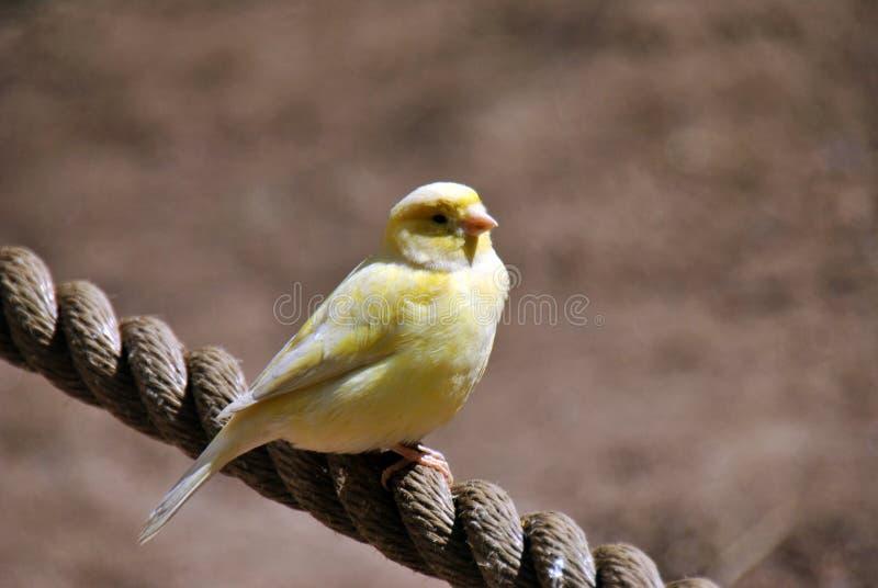 Gelb-weißer gemeiner Haustiersittichvogel stockfotografie