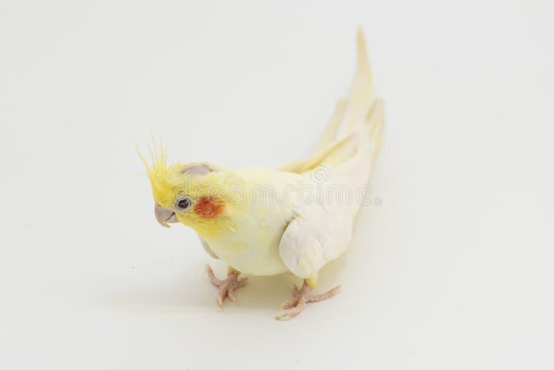 Gelb-weißes Corella-lutino, während des Mauserns, überprüft die Oberfläche unter den Tatzen, auf einem weißen Hintergrund lizenzfreie stockfotografie