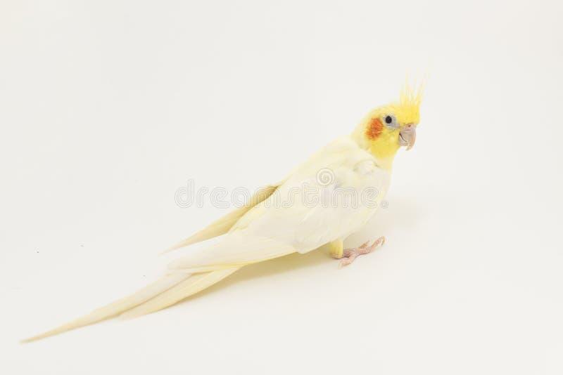 Gelb-weißes Corella-lutino, während des Mauserns, herum drehend und betrachten etwas, auf einem weißen Hintergrund lizenzfreies stockfoto