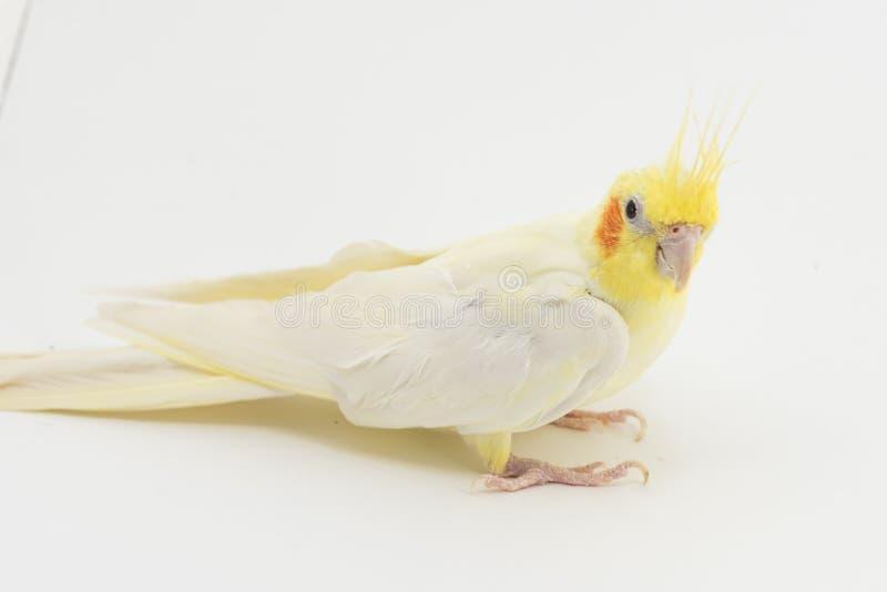 Gelb-weißes Corella-lutino, während des Mauserns, sitzt auf einem weißen Hintergrund stockfotografie