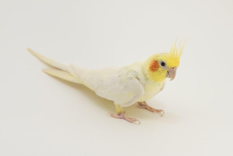 Gelb-weißes Corella-lutino, während des Mauserns, sitzt auf einem weißen Hintergrund stockbilder