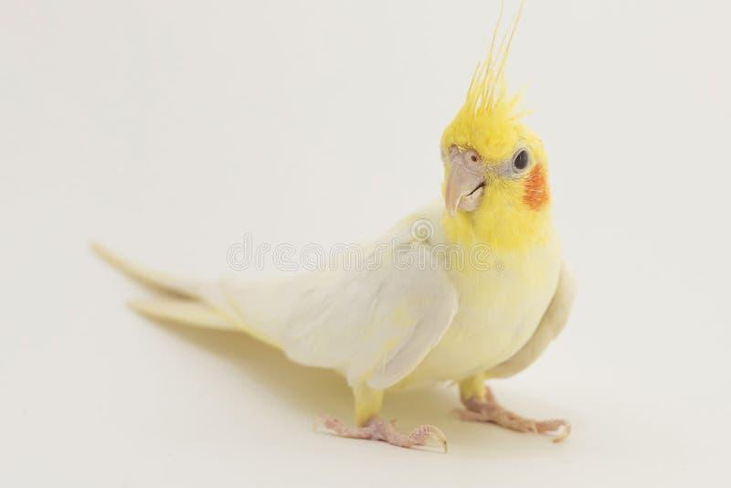 Gelb-weißes Corella-lutino, während des Mauserns, sitzt und hört, auf einem weißen Hintergrund stockbild
