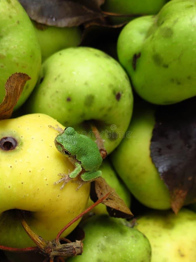 Gelbapfel des grünen Frosches stockbilder