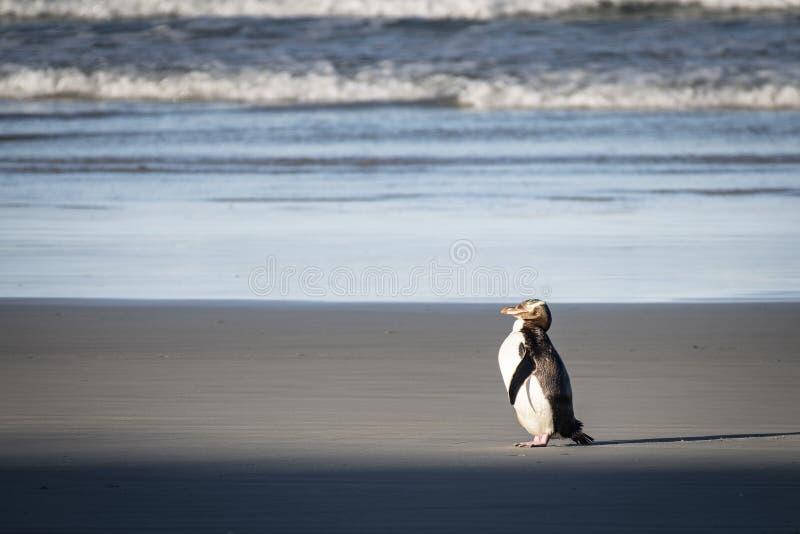 Gelbaugenpinguine sind werden gefunden in den südlichen Regionen von Neuseeland stockfoto