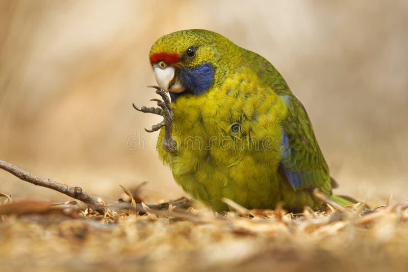 Gelbbauchsittich - Platycercus-caledonicus oder tasmanisches rosella ist Spezies des Papageieneingeborenen zu Tasmanien- und Bass stockfotografie