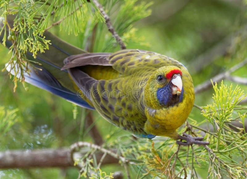 Gelbbauchsittich - Platycercus-caledonicus oder tasmanisches rosella ist Spezies des Papageieneingeborenen zu Tasmanien- und Bass stockbild